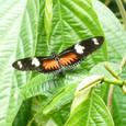 山で見た蝶