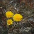 54 パタゴニアで見た花たち